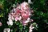 Rose-Blush Rambler-2005-08-24-0002