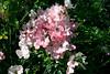 Rose-Blush Rambler-2005-08-24-0002