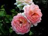 Rose-Pink Panther-2003-08-01-0001