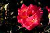 Rose-Veilchenbla-2006-04-01-0001