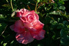Rose-Strawberry Ice-2006-04-01-0001