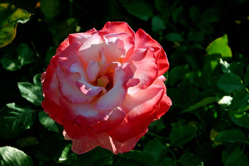 Rose-Regensberg-2006-04-01-0002
