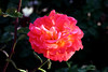 Rose-Papa Gontier-2005-04-25-0001