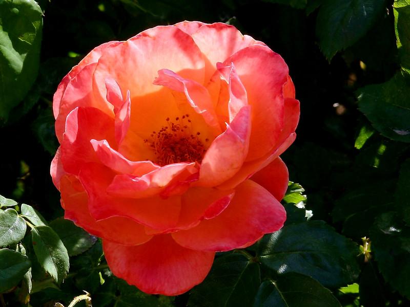 Rose-Veilchenblau-2005-04-26-0001