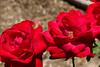 Rose, Opening Night-HT-2011-04-17-0001