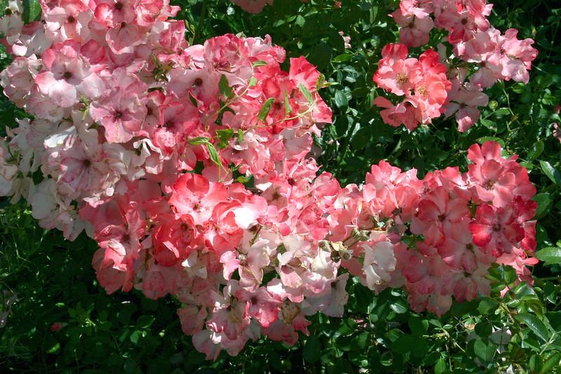 Rose-Blush Rambler-2005-08-24-0001