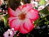 Rose-Sadler's Wells-2004-04-18-0001
