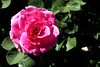 Rose-Mrs John Laing-2007-04-01-0002