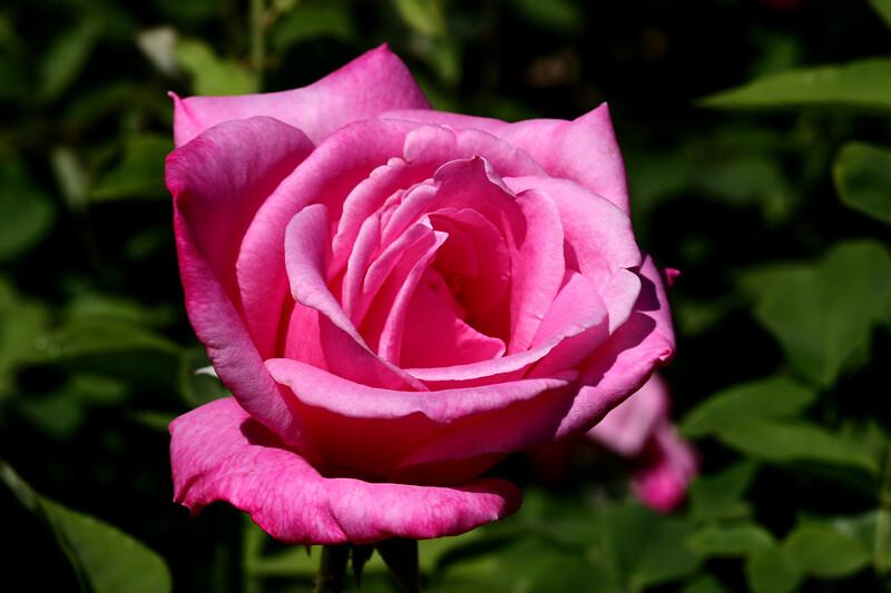 Rose-Sonia-2007-04-01-0003