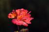 Rose-Granda-2009-02-06-0001