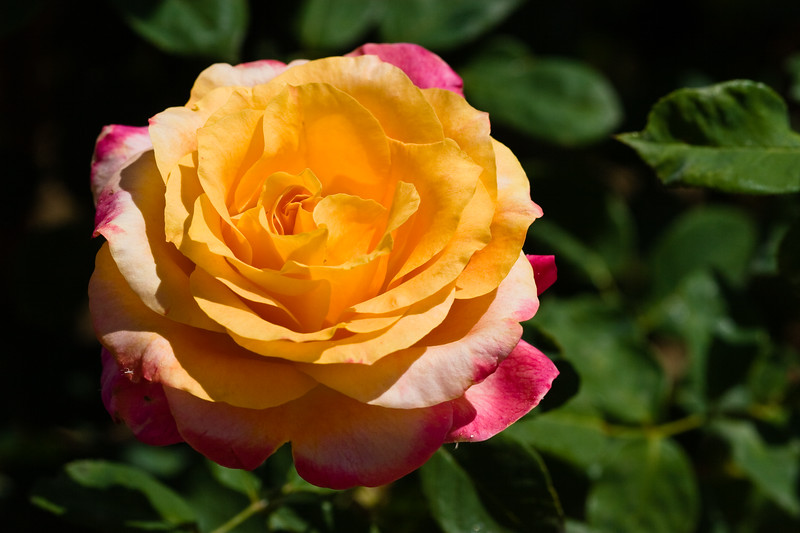 Rose, Heart of Gold-GF-2011-04-17-0001