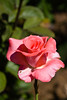 Rose, Touch of Class-HT-2011-04-17-0001