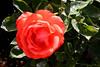 Rose-Josephine-2005-05-01-0003
