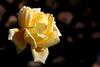 Rose-Amber Queen-2007-01-09-0001