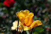 Rose-Midas Touch-2007-04-01-0002