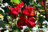 Rose-Robusta-2006-09-07-0001