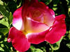 Rose-Double Delight-2005-04-26-0001