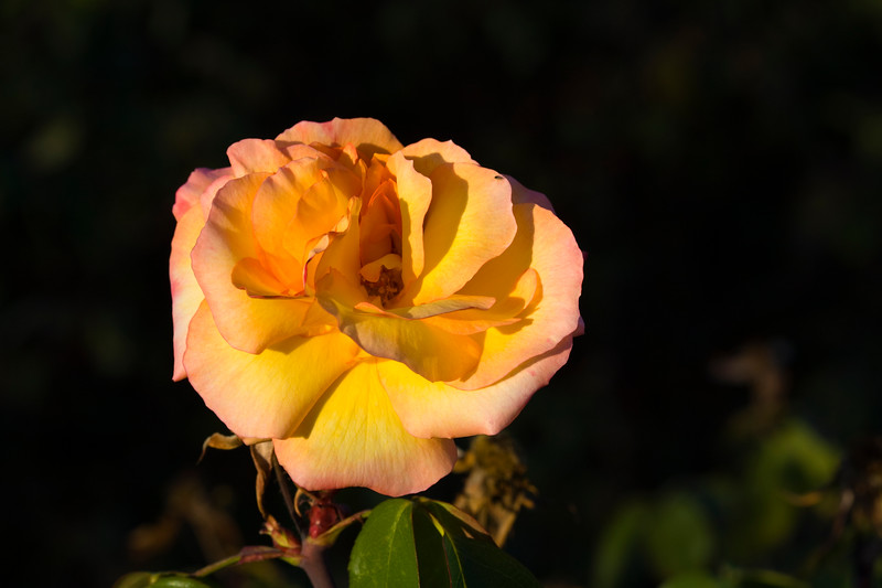 Rose-Sutters Gold-2009-02-06-0001
