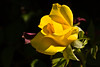 Rose, Midas Touch-2009-06-07-0001