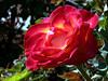 Rose-Granda-2005-04-26-0001