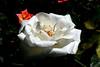 Rose-Class Act-2007-04-01-0001