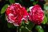Rose, Scentimental-FB-2011-04-17-0001