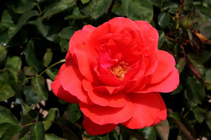 Rose-Josephine-2005-05-01-0001