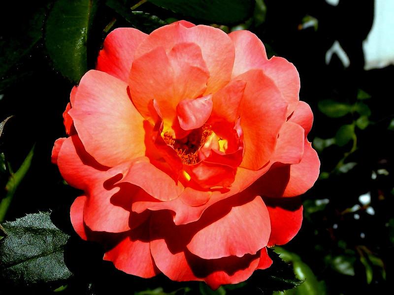 Rose-Fragrant Cloud-2003-07-29-0001