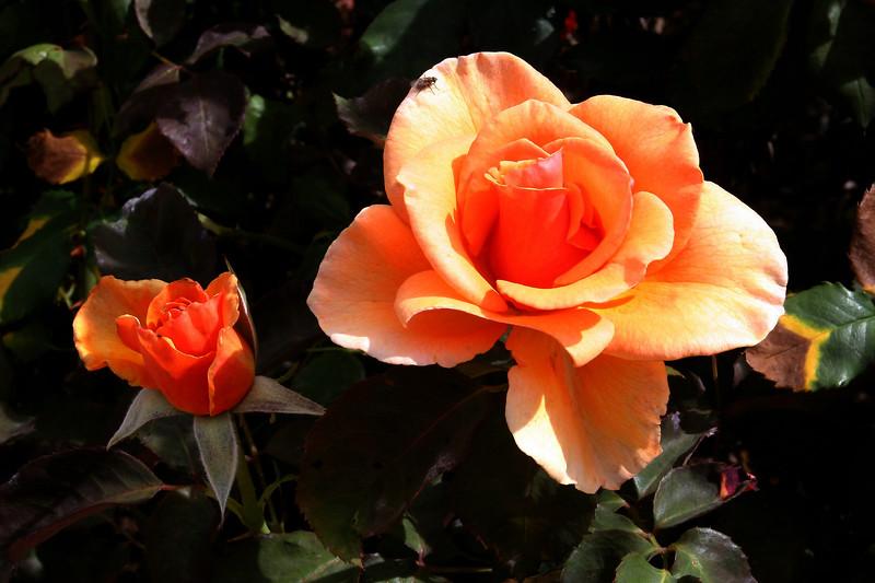 Rose-Julia's Rose-2005-05-01-0001