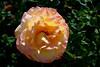Rose-Regensberg-2006-04-09-0001
