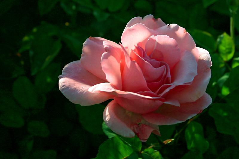 Rose-Sonia-2006-04-09-0002
