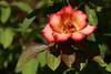 Rose-Irene Marie-2007-07-29-0001