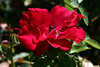 Rose-Color Break-2007-07-29-0001