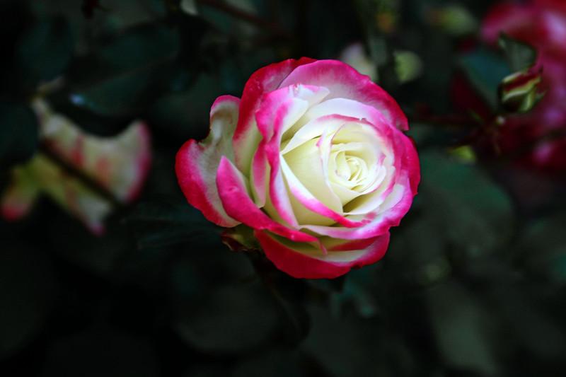 Rose-Cherry Parfait-2006-09-07-0001