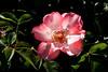 Rose-Sadler's Wells-2006-05-14-0001