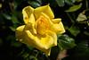 Rose, Golden Master Piece-HT-2011-04-17-0001