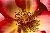 Rose-Sadler's Wells-2007-04-01-0003
