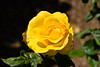Rose, Peace-HT-2011-04-17-0001