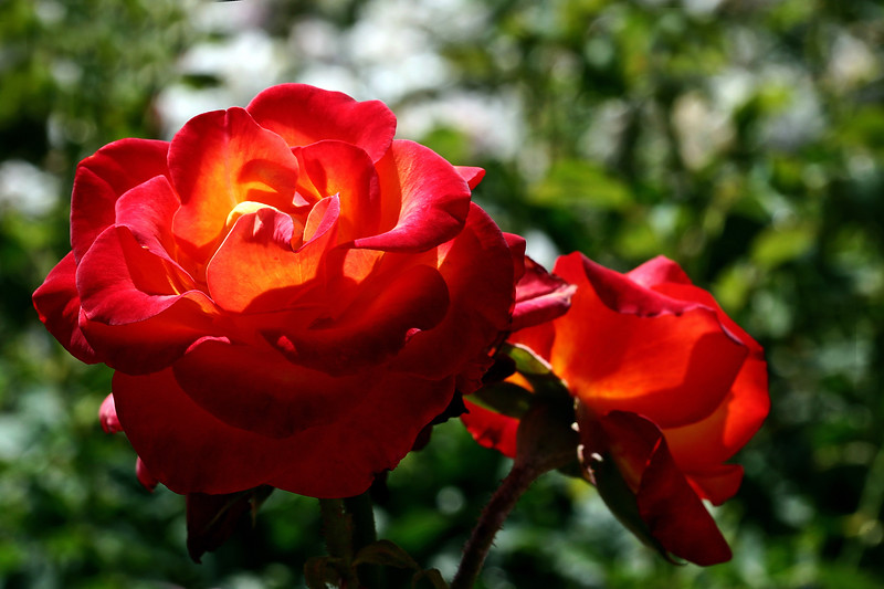 Rose-Double Delight-2007-04-15-0001