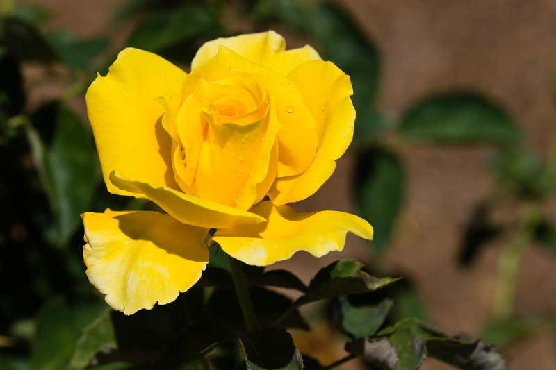Rose, Midas Touch-HT-2011-04-10-0001