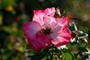 Rose-Sadler's Wells-2006-04-01-0001