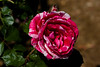 Rose, Scentimental-FB-2011-04-17-0002