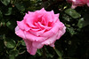 Rose-Mrs John Laing-2005-04-25-0002