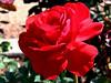 Rose-Olympiad-2005-04-26-0001