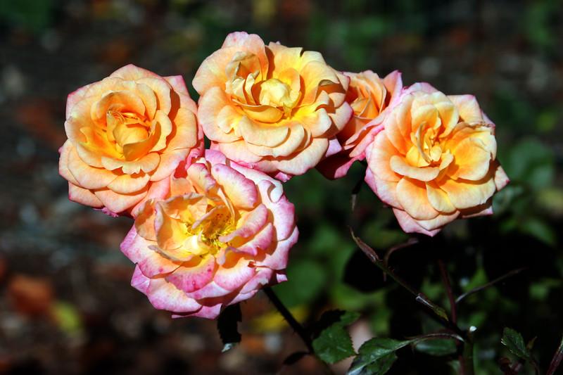 Rose-Pride 'n' Joy-2006-09-07-0001
