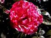 Rose-Charles de Mills-2004-04-18-0002