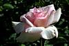 Rose-Marinette-2007-04-01-0001