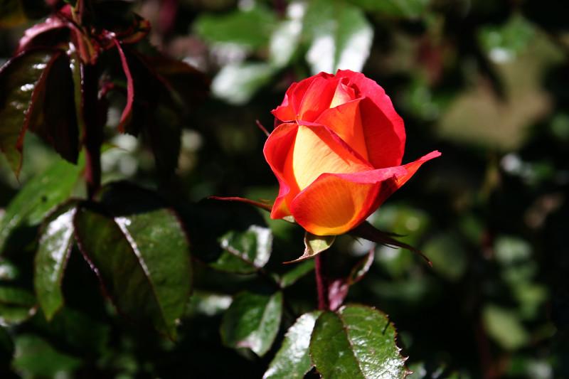 Rose-Rainbow Sorbet-2006-09-07-0001