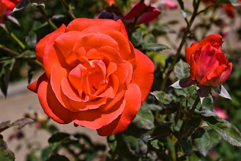 Rose-Loving Memory-2010-04-27-0001<br /> <br /> Shot in Glendale, AZ-Sahuaro Park