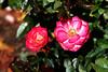 Rose-Debut-2006-09-07-0002